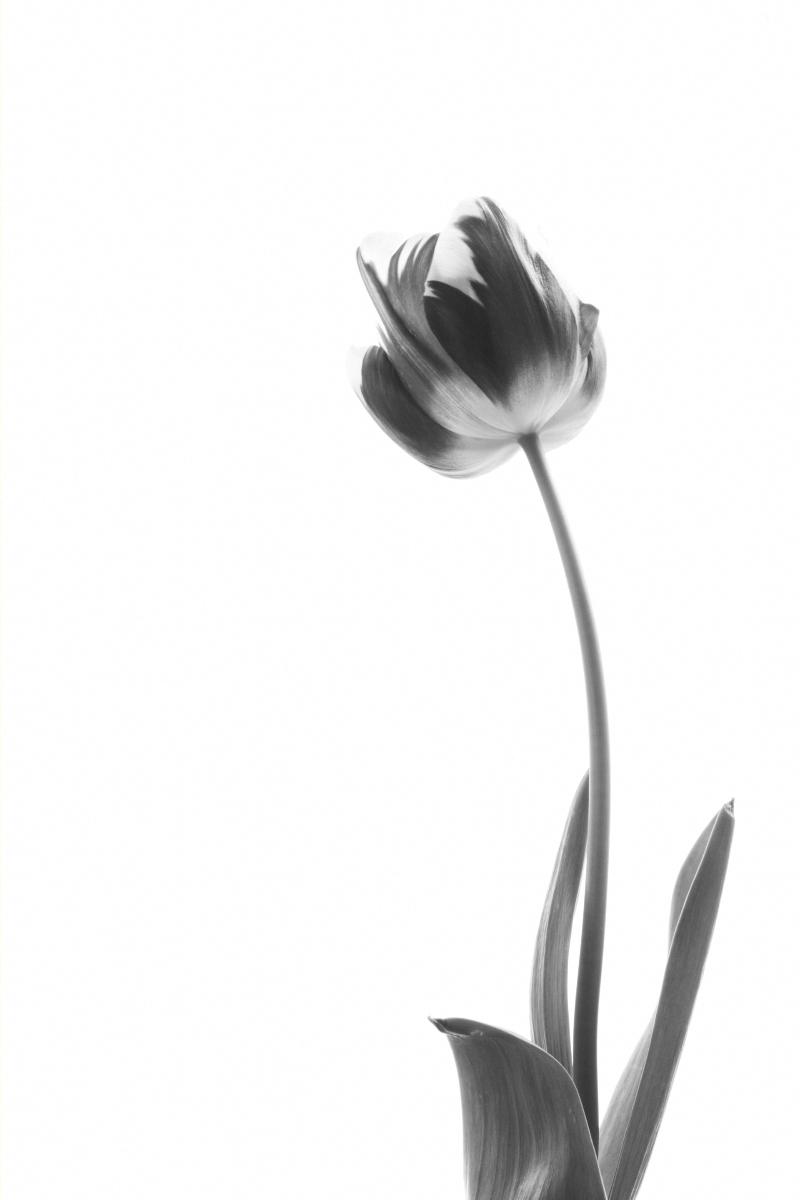 Tulip 'Striped Sail' | Black & White