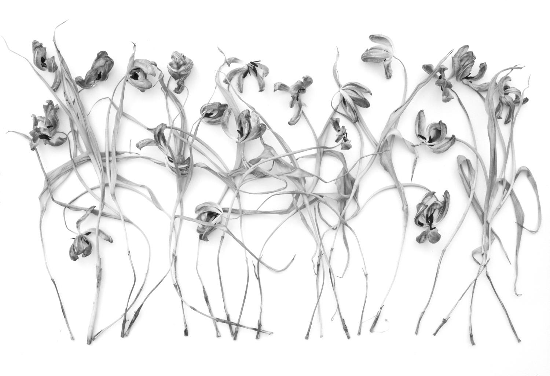 Infinite Beauty - Tulip Study II