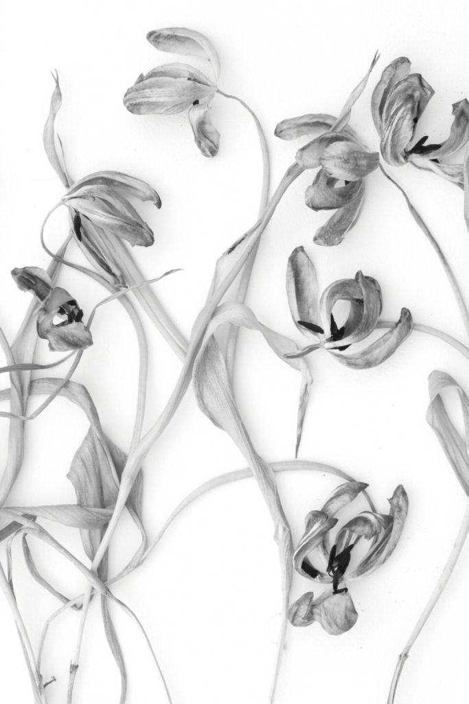 Dried Tulip Study II