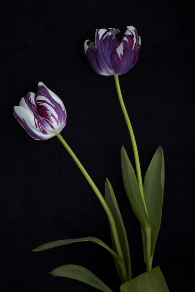 Tulip 'Striped Sail' 1960