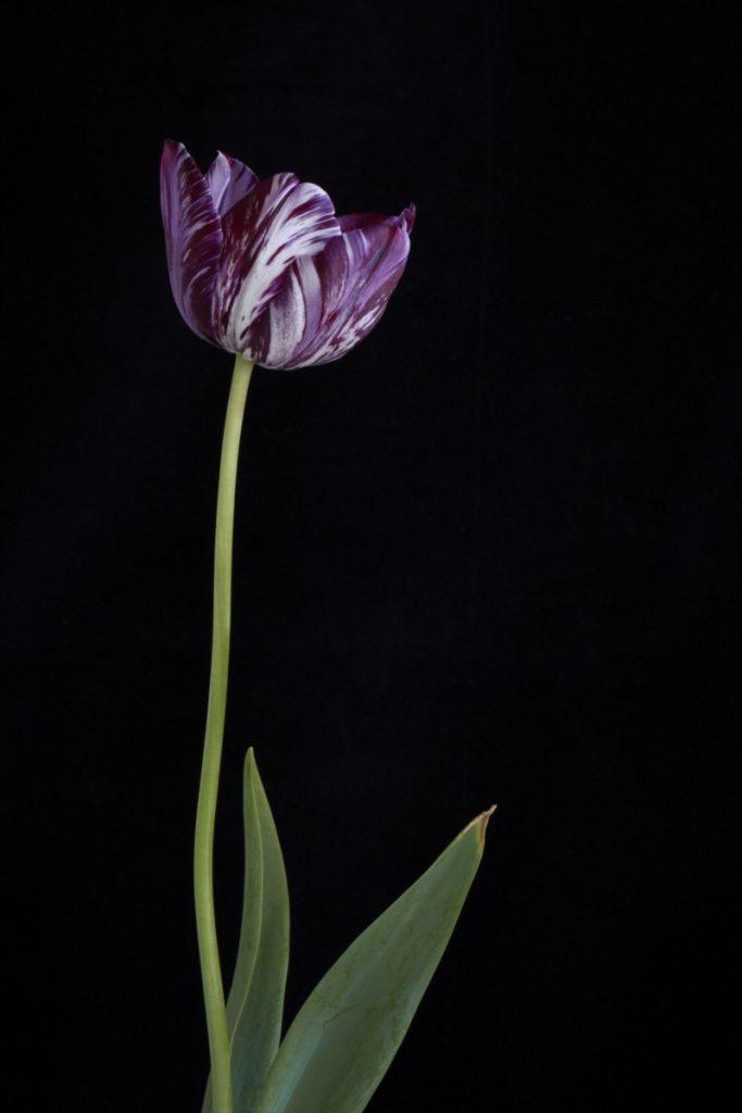 Tulip 'Insulinde' 1916