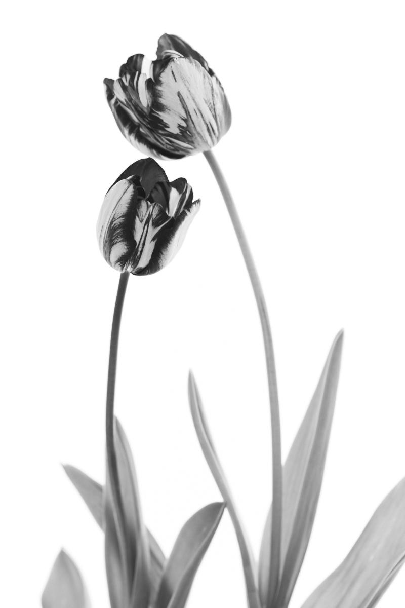Tulip 'Rembrandt' | Black & White