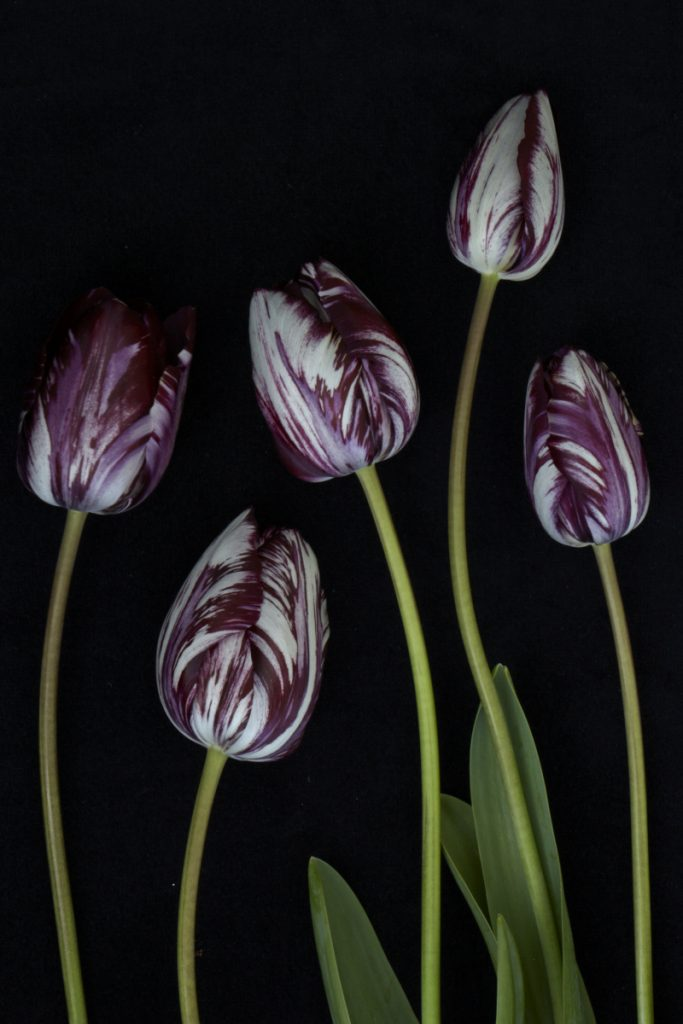 Tulip 'Rembrandt' 1915