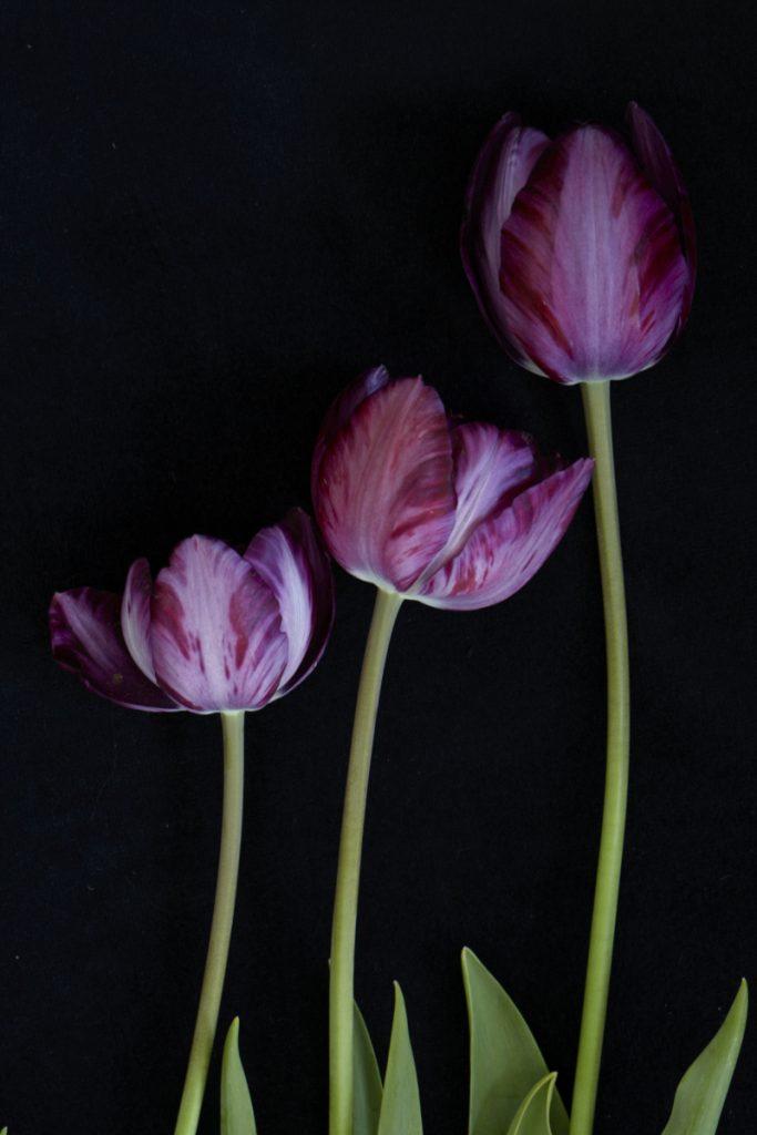 Tulip 'Columbine' 1929
