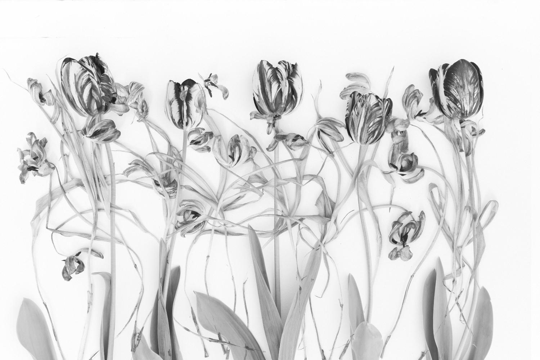 Tulip Study I | Black & White