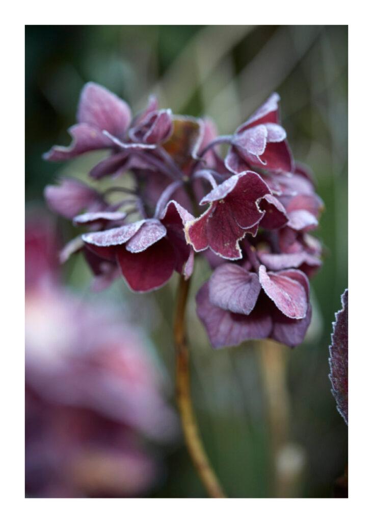 Hydrangea dark