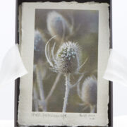 Teasel, Frosted New Life
