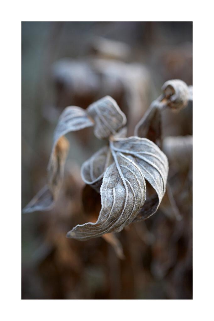 Peony Leaf